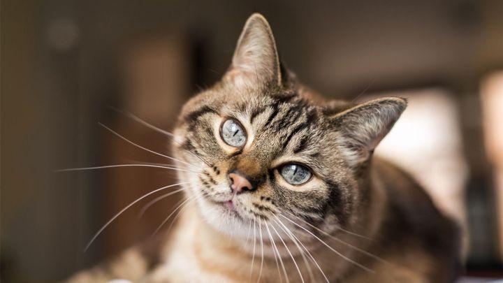 الوقاية من المرض لدى القطط المنزلية