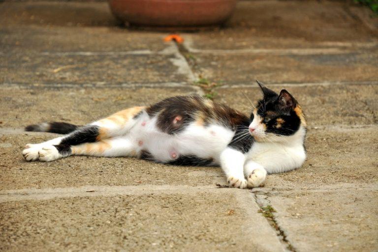 كم مدة حمل القطط المرسال