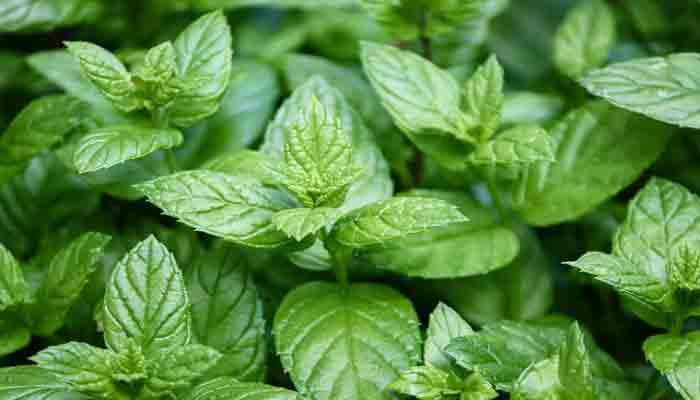 اشهر النباتات العطرية